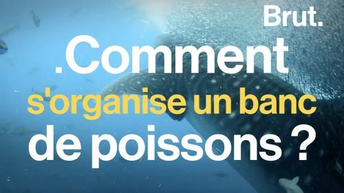 VIDEO. Comment s'organise un banc de poissons ?