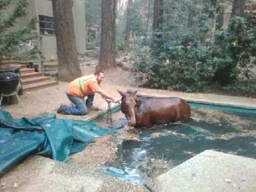 Incendies en Californie:  un cheval survit grâce à une piscine