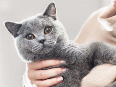 L'éducation du british shorthair