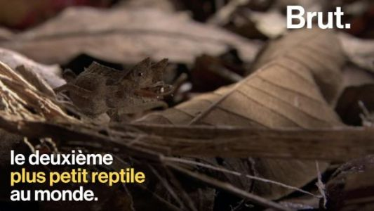 VIDEO. Le Brookesia minima, un lézard à peine plus grand qu'une fourmi