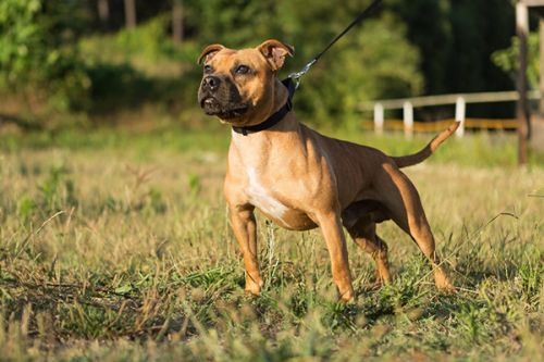 Le Staffordshire Bull Terrier ou Staffie