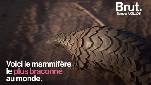 VIDEO. Le pangolin, le mammifère le plus braconné au monde