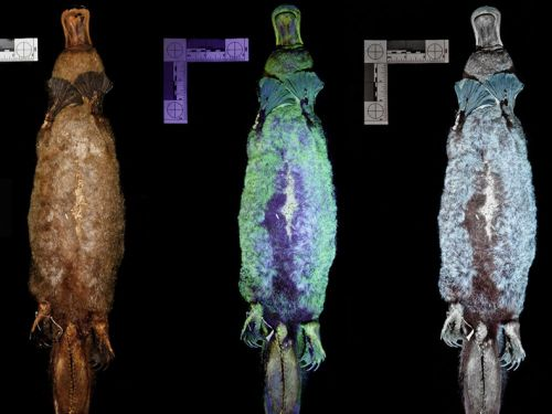 Les ornithorynques sont biofluorescents !