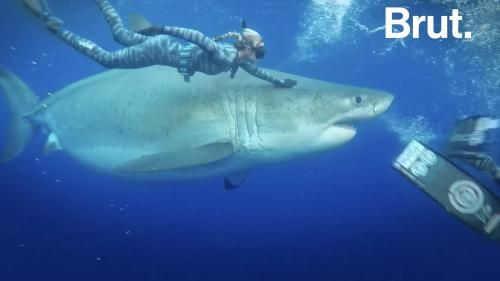 VIDEO. Deep Blue, un gigantesque requin blanc, parmi les plus grands jamais signalés