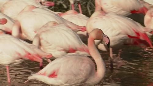 Le spectacle de la parade amoureuse des flamants roses en Camargue