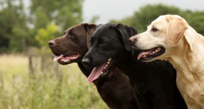 Zoom sur le Labrador Retriever