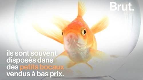 VIDEO. Malformations, solitude, stress. la dure vie du poisson rouge