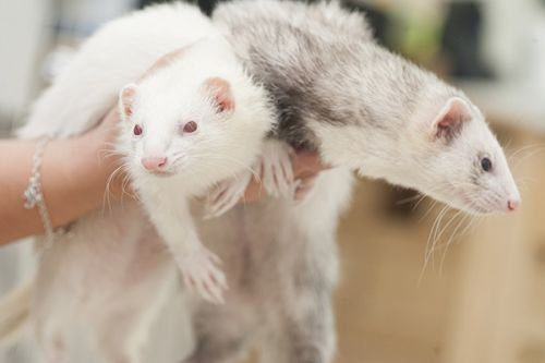 La cohabitation du furet