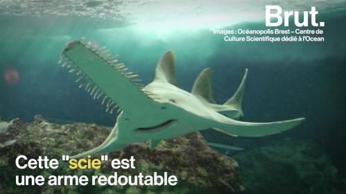 VIDEO. Le rostre des poissons-scies, une arme et. un point faible