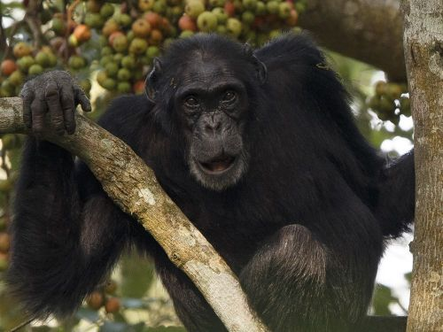 Quand la pollution déforme le visage des chimpanzés