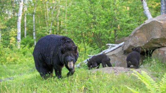 Russie:  quand les ours attaquent