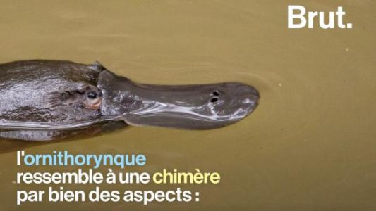 VIDEO. L'ornithorynque, la chimère du règne animal ?