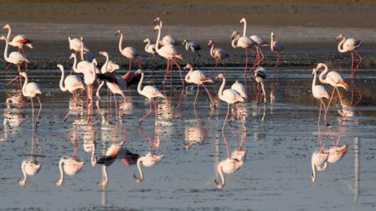 VIDEO. Douze mille flamants roses font escale à Chypre