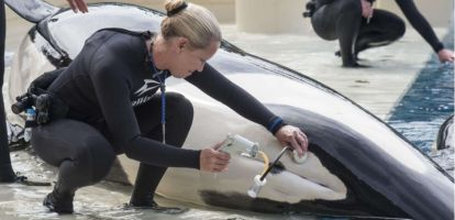 La reproduction clandestine des orques de SeaWorld
