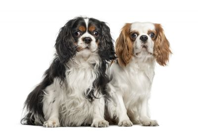 Zoom sur le cavalier king charles