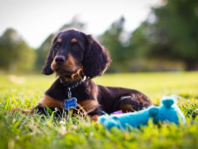 L'adoption d'un setter Gordon