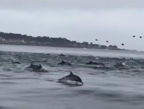VIDEO. Un super-banc de dauphins observé au large de la Californie