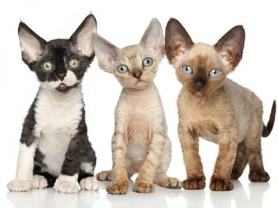 Devon Rex:  un chat très sociable