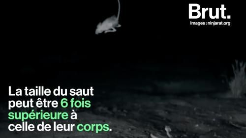 "VIDEO. Le ""rat ninja"", un rongeur aux réflexes surprenants"