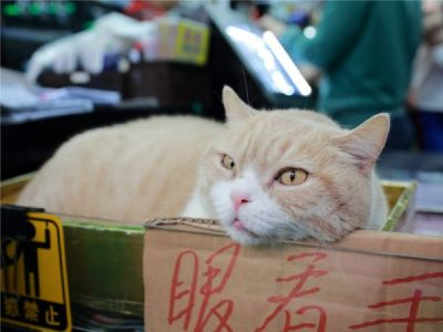 Cream Brother, le chat le plus connu de Hong Kong