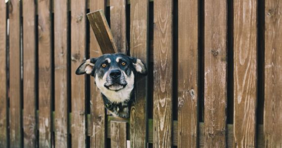 La fugue du chien:  causes et solutions