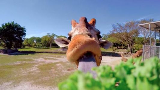 VIDEO. Comment se battent les girafes ?