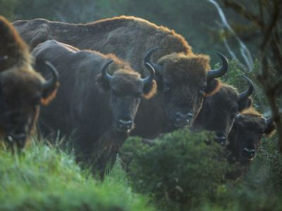 L'Europe, terre de bisons