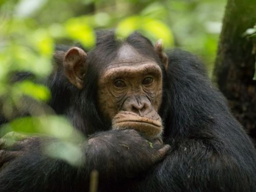 Nos rhumes menacent les grands singes