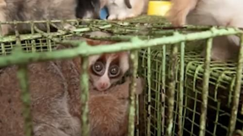 VIDEO. Le loris lent, un primate en danger
