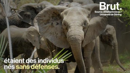 VIDEO. En raison du braconnage, de plus en plus d'éléphants naissent sans défenses
