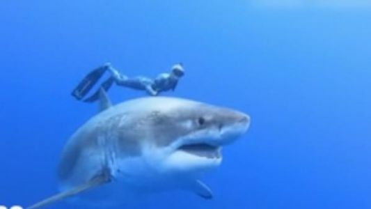 Hawaï:  face à un requin blanc